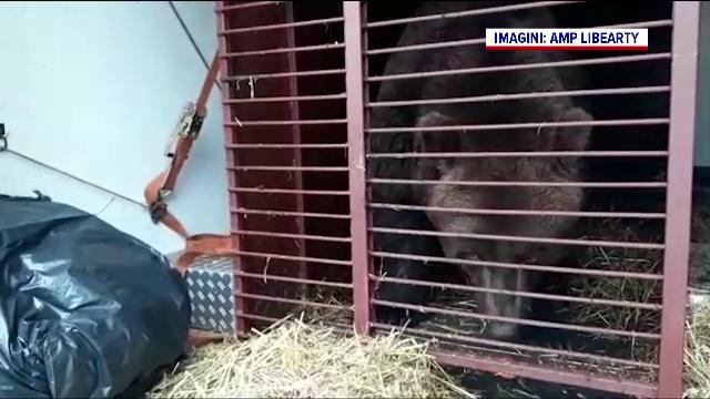 Doi urși au fost aduși la Sanctuarul din Zărnești, după ce au fost chinuiți în Ucraina