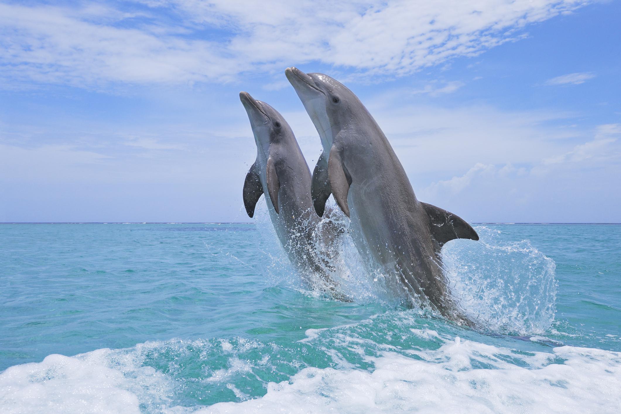 Coreea de Nord ar dresa delfini pentru a efectua operațiuni militare