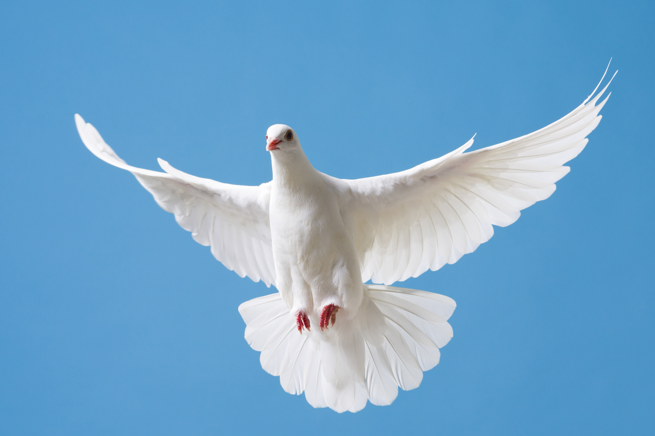 """Un porumbel riscă să fie eutanasiat pentru că a """"încălcat restricțiile impuse din cauza pandemiei"""". Cum e posibil"""
