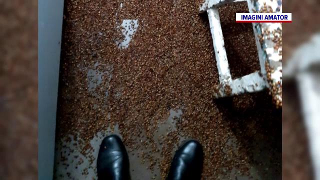 Comună din Bacău, invadată de buburuze venite din Asia. Oamenii sunt disperați