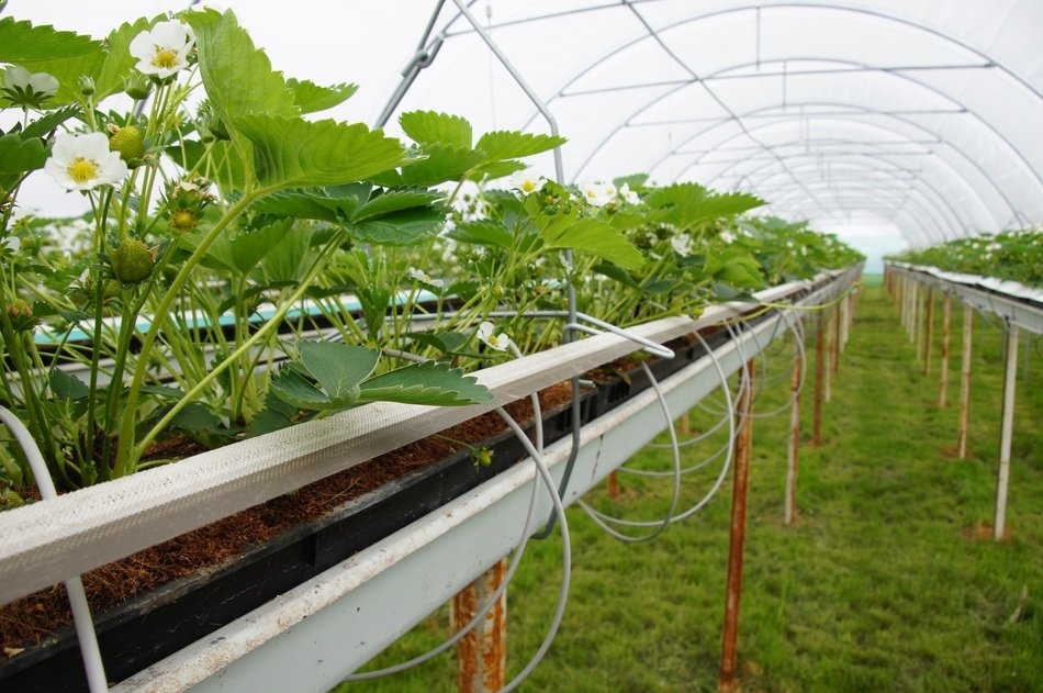 (P) Top 10 cele mai profitabile culturi în sere și solarii și pe suprafețe mici