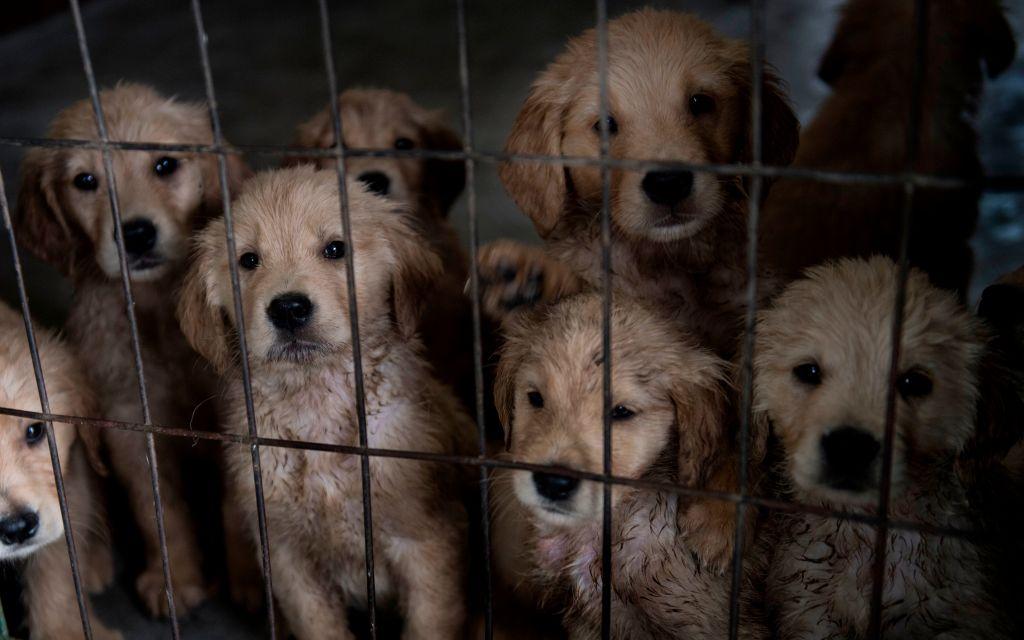 O organizație americană a salvat zeci de câini din China, unde urmau să fie mâncați