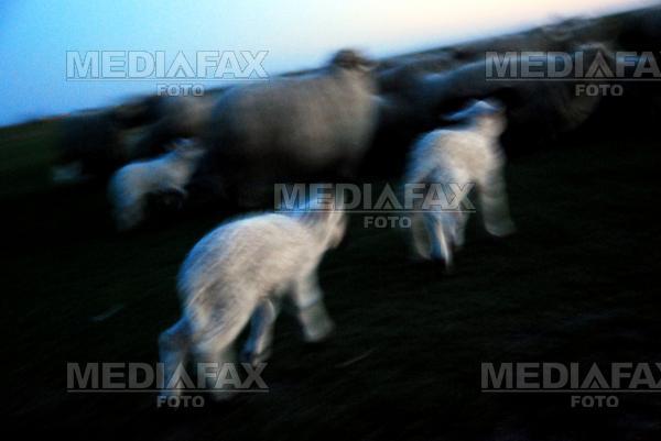 Macel la o stana din Alba. Zeci de oi au cazut prada unei haite de lupi
