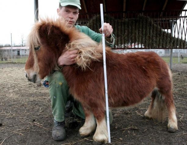 Cel mai mic ponei din lume a fost rapit. Animalul ar fi fost luat de mafie