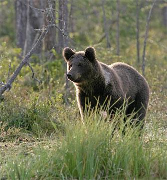 Ursul controlor de trafic: la promenada, pe o pasarela pietonala