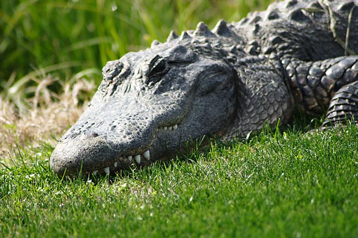 Un aligator, la scaldat in piscina unui american