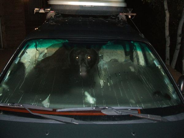 Cat de bine conduce un urs o masina cu un sandvis in ea? Iata!