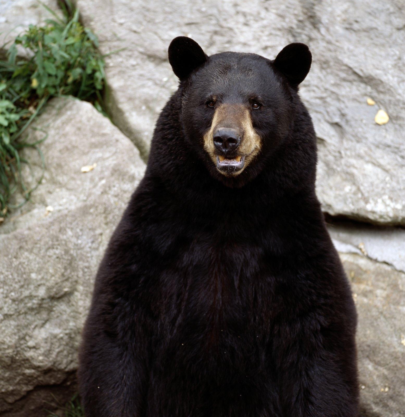 O ursoaica, mama eroina in SUA. Vezi cum si-a salvat puiul