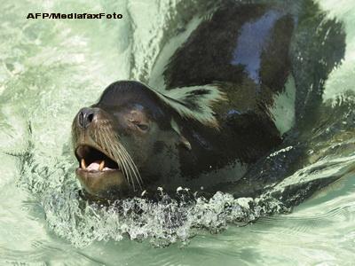 Veterinarii americani au operat un pacient neobisnuit: un leu de mare