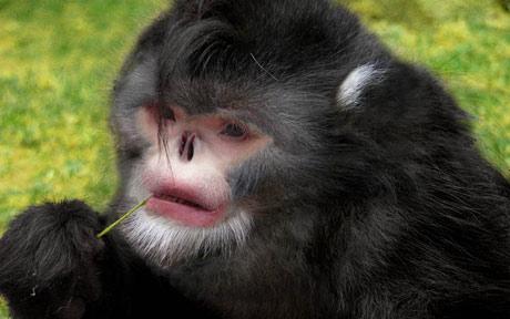 Hapciu! Noua specie de maimute fara nas, care stranuta cand ploua