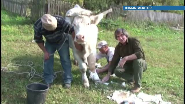 Premiera in medicina veterinara din Romania. Cum a fost salvata o vaca de la abator de un medic