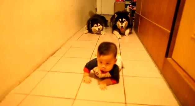 Cainii husky care imita un bebelus, clipul saptamanii pe internet