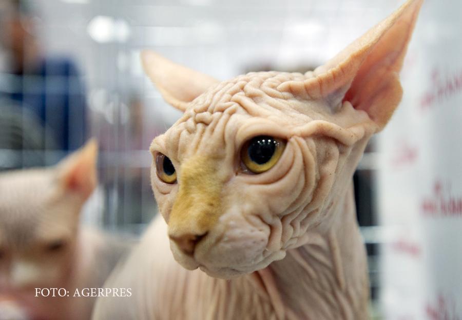 Concurs de frumusete felina, in Capitala. Care este cea mai controversata rasa de pisici