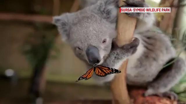 Prietenia neobisnuita dintre un ursulet koala si un fluture, principala atractie dintr-un parc natural din Australia. VIDEO
