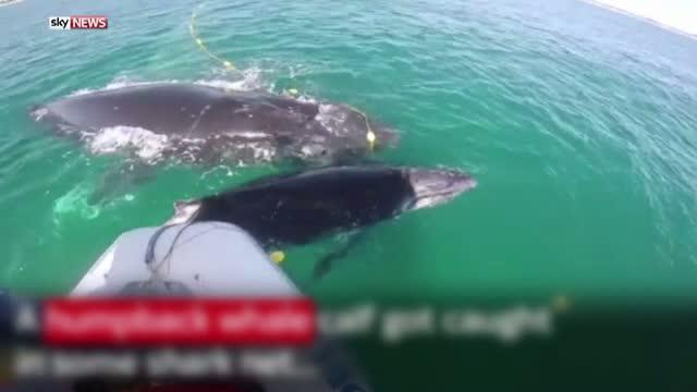 O balena nu s-a clintit de langa puiul ei, prins intr-o plasa de pescuit in largul coastelor Australiei. Cum a fost salvat