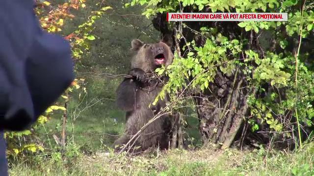 Urs salvat din capcana unor braconieri după ore de chin