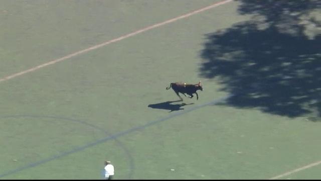 Taur fugit de la abator, într-un parc din New York. Operațiunea complicată de capturare
