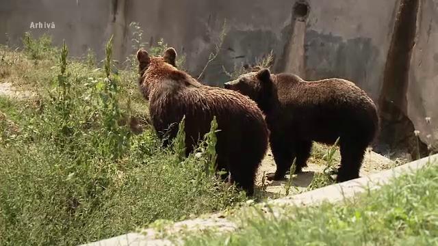 Doi urși au fost loviți în plin de mașini, pe Valea Oltului. Unul dintre ei a murit