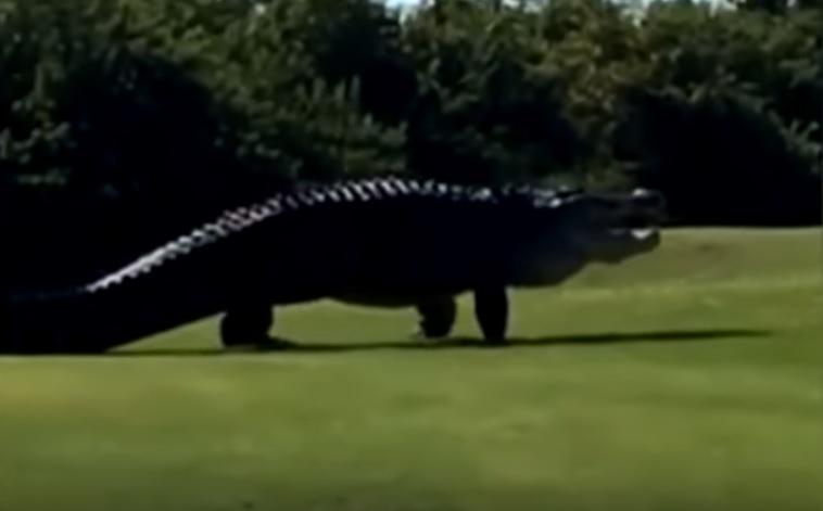 Filmare virală. Un aligator uriaș și-a făcut apariția pe un teren de golf din Florida