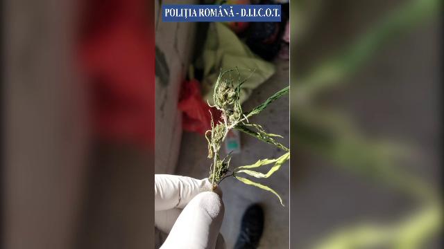 Tânăr din Buzău, prins în flagrant oferind un colet cu 8 kg de canabis unui partener