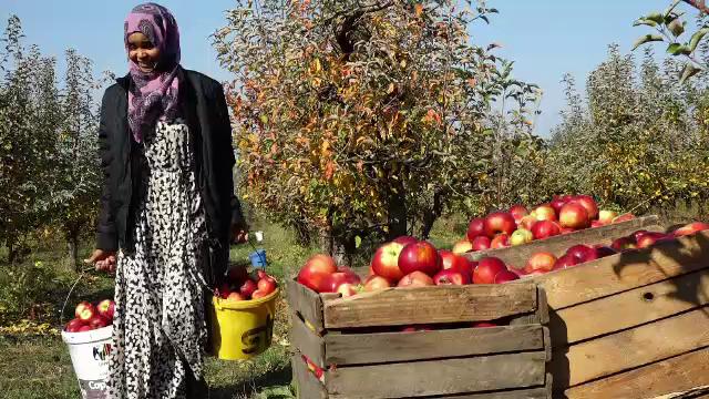 Fermierii maramureşeni preferă zilieri din Somalia sau Irak.