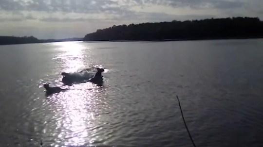 Un crocodil uriaș a înghițit un câine sub privirile terifiate ale stăpânului
