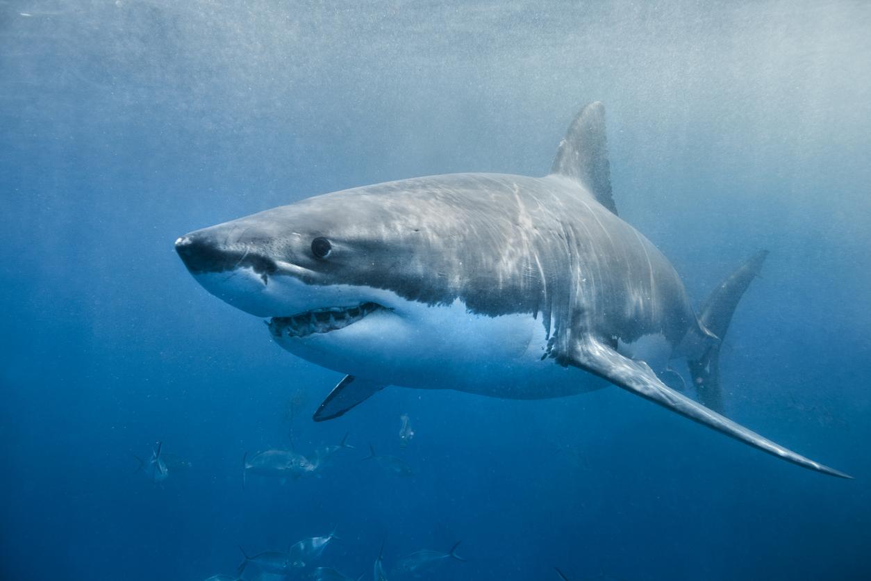 Rămăşiţe umane, descoperite în stomacul unui rechin capturat în largul insulei Réunion