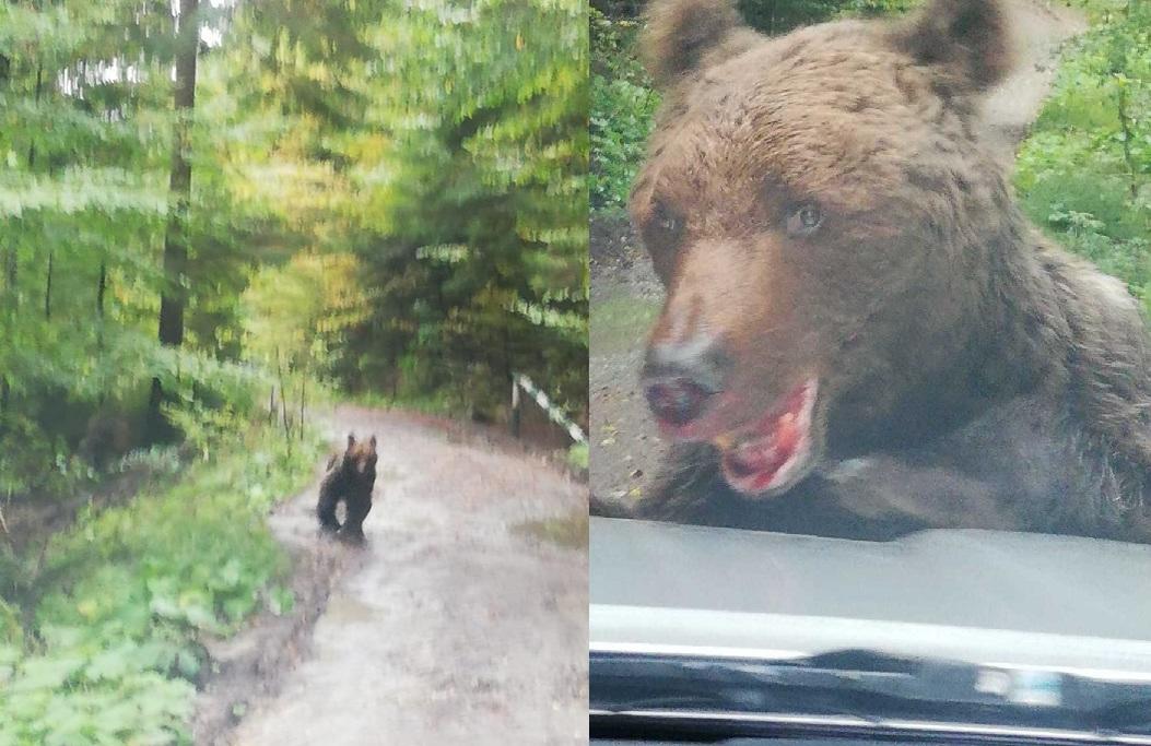 Ursul extrem de agresiv care a atacat muncitori în Bușteni a fost prins. Ce se va întâmpla cu el