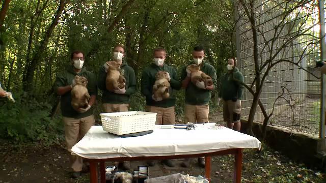 Patru pui de leu au venit pe lume într-o grădină zoo din Ungaria. Ce spun îngrijitorii