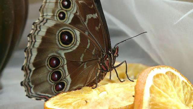 """Proiectul """"Petale zburătoare"""" s-a mutat pe internet. Cum poți admira zeci de fluturi aduși la Cluj din Asia şi America de Sud"""