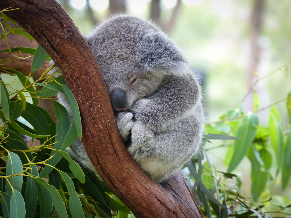 Urșii koala, în pericol de dispariție prin afectarea imunității, din cauza omului. Cum s-a ajuns aici