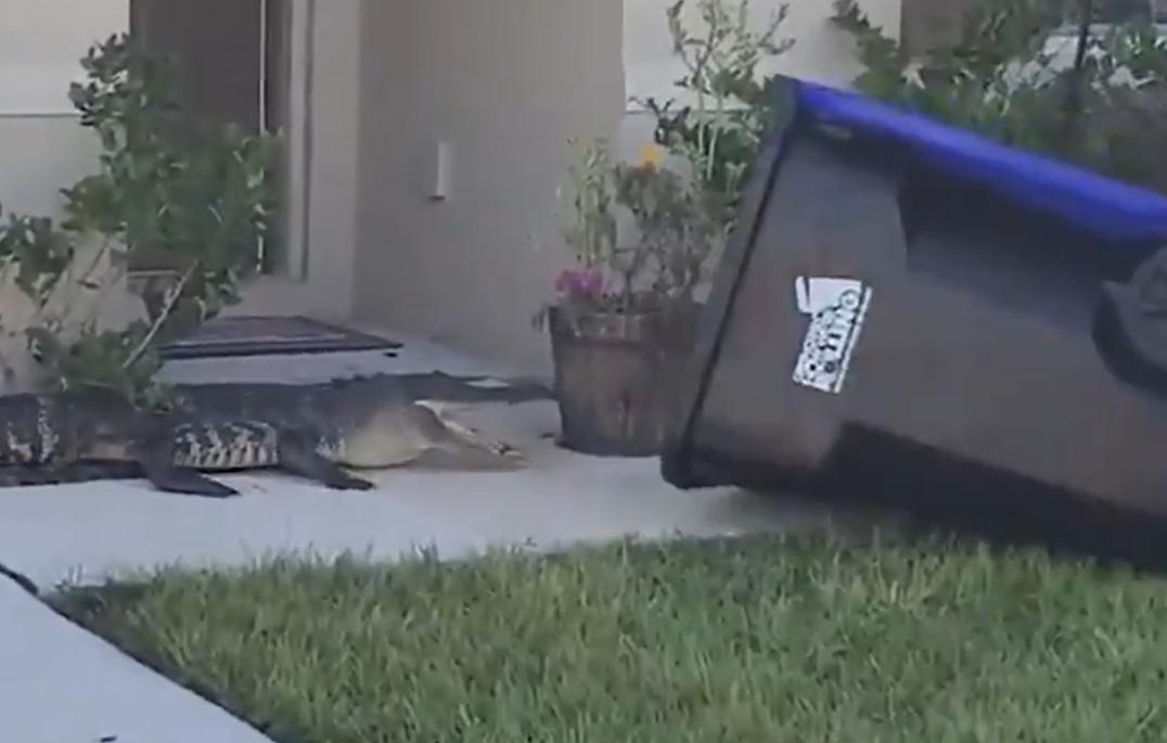 VIDEO Imagini de necrezut. Un veteran a capturat un aligator într-un tomberon, în fața unei case
