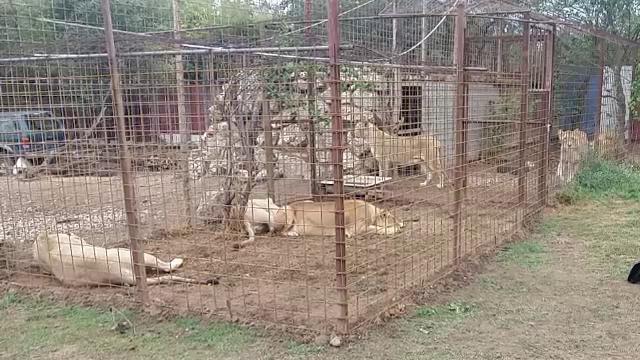 Șapte lei adulți, ridicați dintr-o gospodărie. Reprezentanții lor susțin că erau ținuți în condiții nesigure