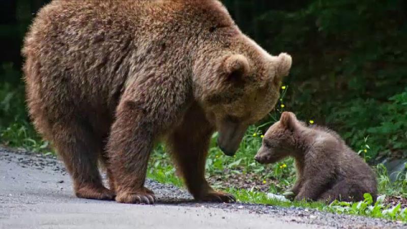 O ursoaică cu trei pui, capturată și dusă departe de oraș. Autoritățile au pândit-o vreme de două saptămâni