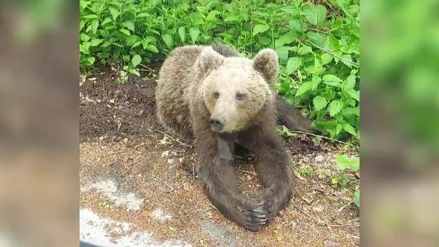 Un proiect pilot pentru îndepărtarea urșilor dă roade în unele zone din România. Despre ce este vorba