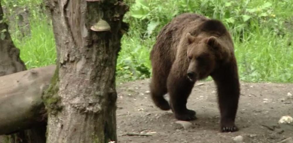 Un bărbat din Neamț a mers să culeagă ciuperci în pădure, dar a dat nas în nas cu trei urși