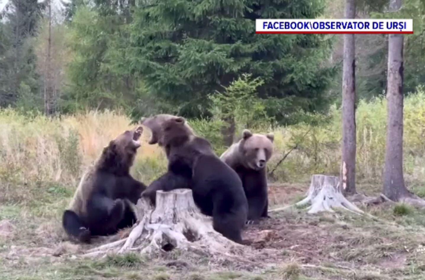 Bătaia urșilor, surprinsă de un bărbat la cules de ciuperci, în Harghita