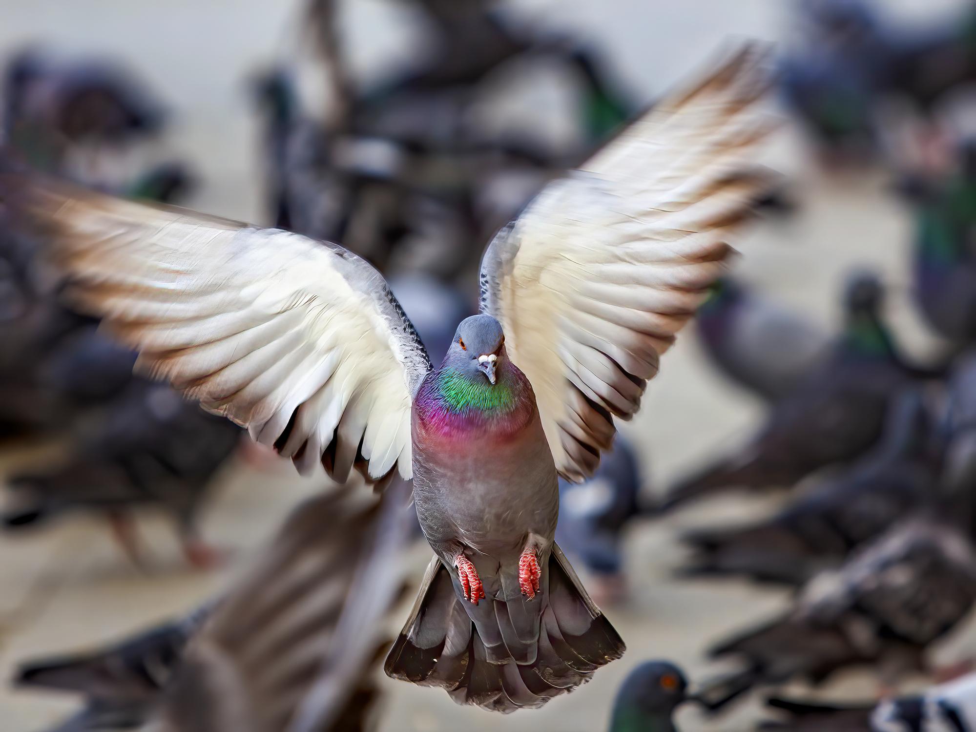 Un sucevean a furat în Belgia porumbei în valoare de 600.000 de euro. Ce s-a întâmplat cu păsările