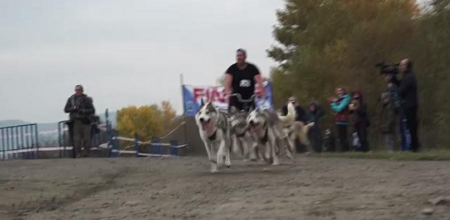 Concurs inedit în România. Zeci de câini nordici s-au întrecut pe malul râului Mureș