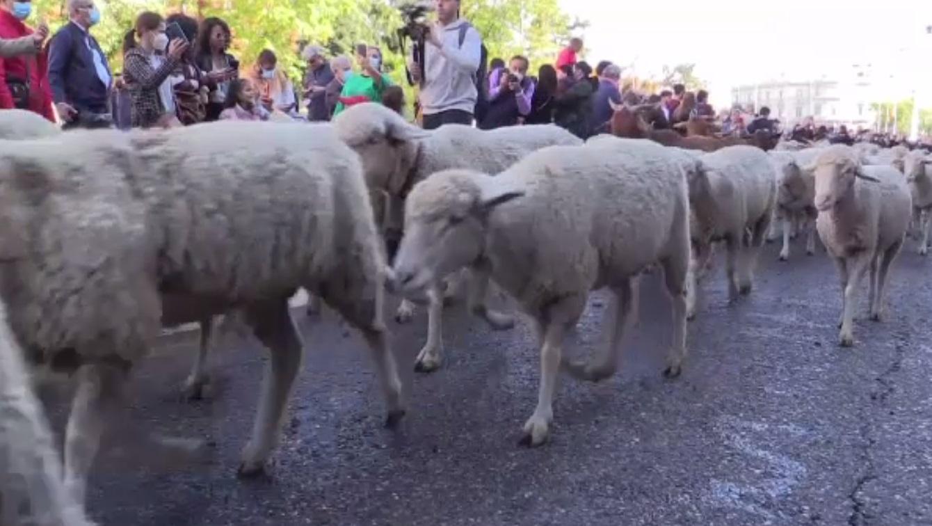 Ziua transhumanței, la Madrid. Oile și caprele au invadat străzile capitalei Spaniei