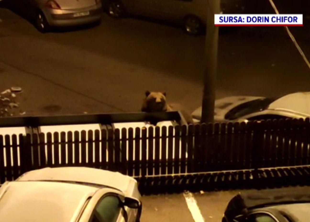 """O ursoaică cu pui s-a """"stabilit"""" într-un cartier din Bușteni. Jandarmii o alungă cu greu"""