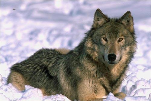 Macel in Maramures! 150 de oi omorate de o haita de lupi