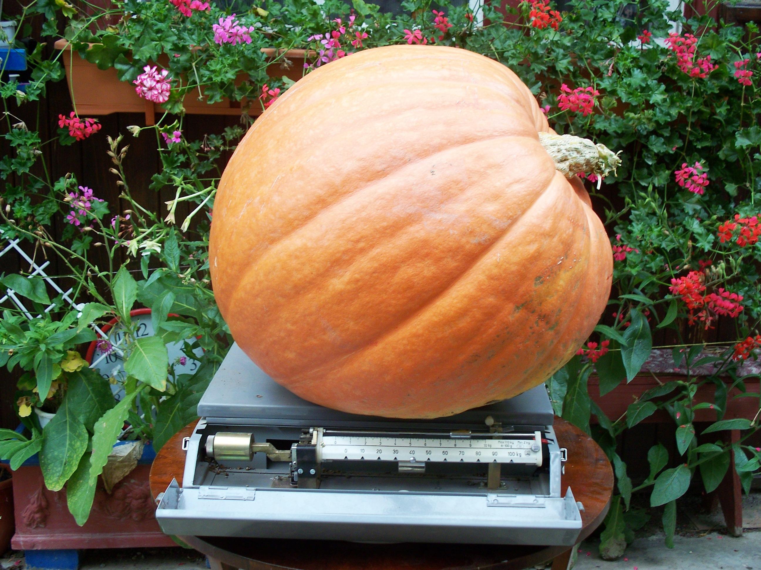 Pregatit pentru Halloween! I-a crescut in gradina un dovleac de 52 de Kg