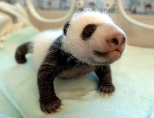 Doi pui de urs panda, vedete la gradina zoo din Madrid
