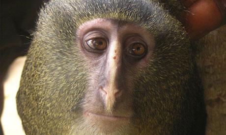 O noua specie de maimuta a fost descoperita in Congo. De 28 de ani e cautata
