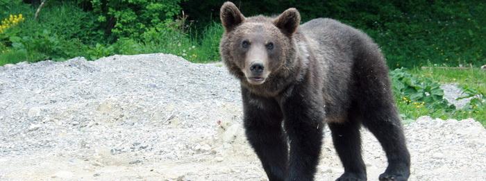 Un barbat a fost atacat de urs marti noaptea, la poalele Muntilor Parang