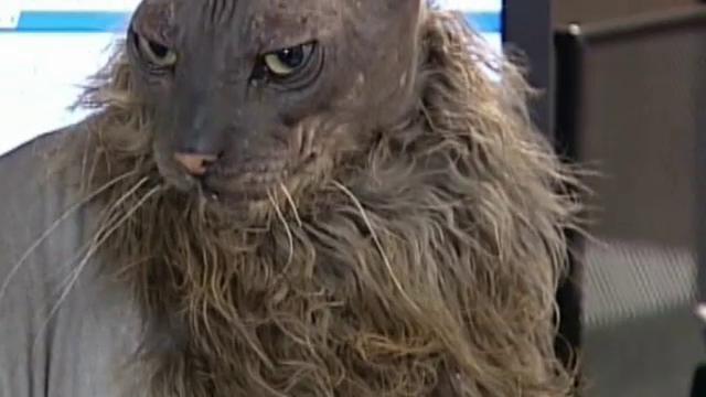 Cel mai urat motan din lume a murit la varsta de 12 ani. Liliacul Pocit avea o multime de fani