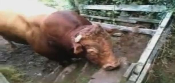 S-au trezit prinsi intre doi tauri furiosi. Cum au reusit sa scape. VIDEO