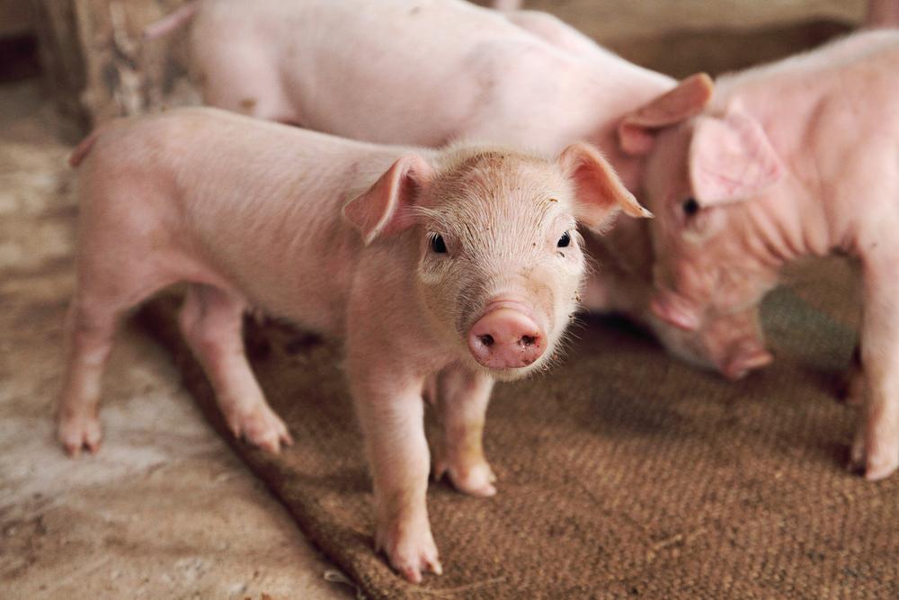 Povestea porcului care a supravietuit unui drum catre abator.