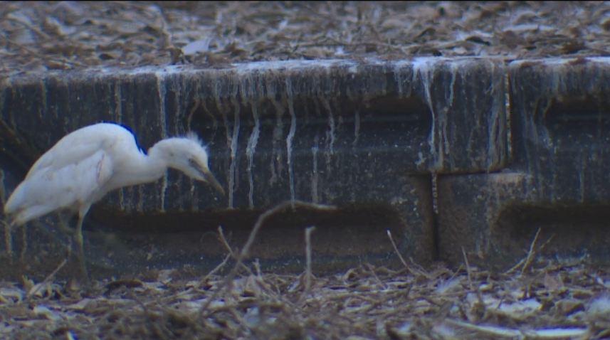 Imagini incredibile intr-un oras din Texas, invadat de o colonie de egrete. Solutia disperata a autoritatilor